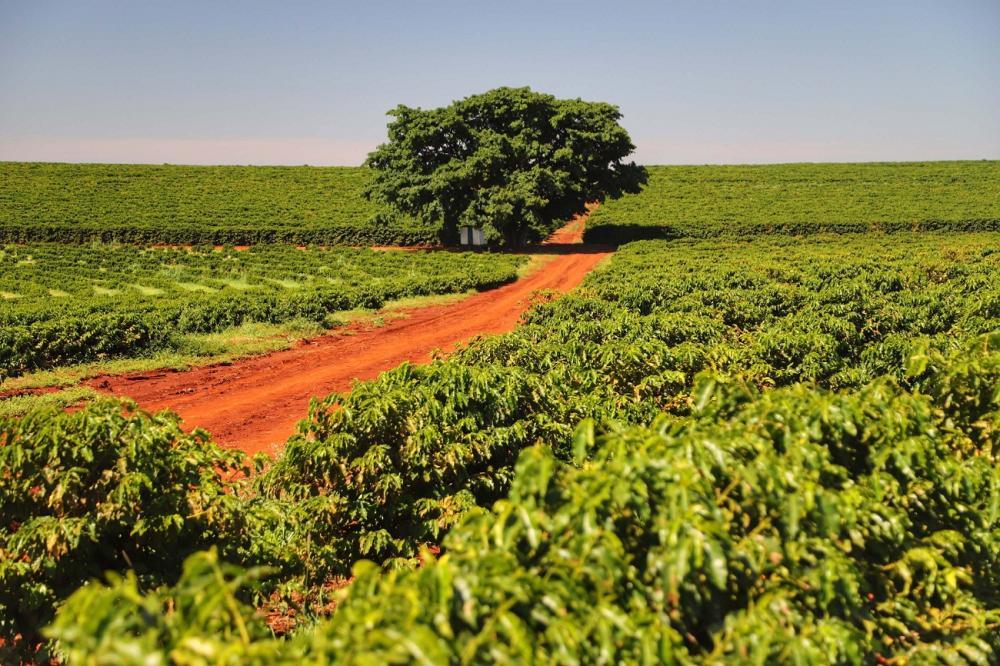 Pesquisadores Iapar e da UEL estudaram a evolução da cafeicultura ao longo de 30 anos - AEN