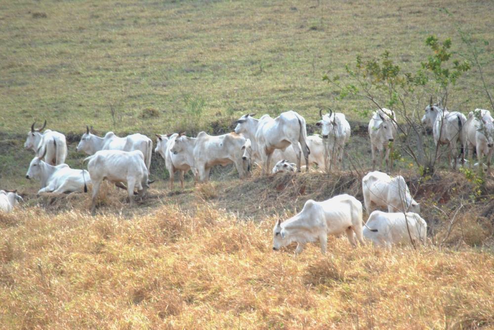 Animais sofrem com a falta de água nas propriedades da região - Foto: Antônio de Picolli